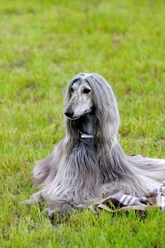 Afghan Hound - Developed in Afghanistan (from ancient lines, likely Egyptian), the Afghan Hound was bred to hunt large game, pursuing his prey by sight, in both mountains and deserts.
