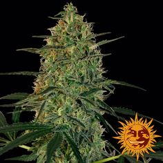 Malana Bomb Auto is an auto-flowering version of a Malana Charas plant from high up in the Himalayas of northern India. This is the plant that the Indian Saddhus, or holy men, use to celebrate their worship of Shiva, the Hindu god of destruction. It was cross-bred with Lowryder #1 to create this exciting new auto strain.