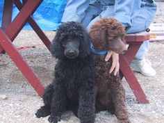 Dreamscapes Standard Poodles