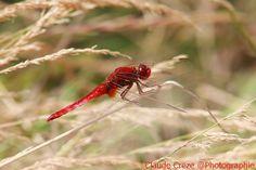 Mes libellules - Claude et Michel Creze