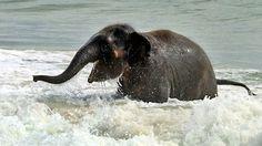baby elephant playing in the ocean. springgg breakkkk! I die.