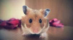 Romantic hamster