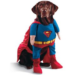 Chocolate Lab Superman.
