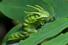 cough into my open mouth, lindsay-irene: Dragon-headed caterpillar ayy this...