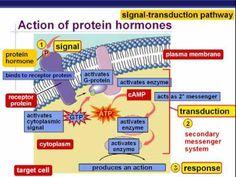 endocrine system part 2