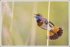 Blauwborst - Bluethroat (Luscinia svecica) | Uren koukleume… | Flickr - Photo Sharing!