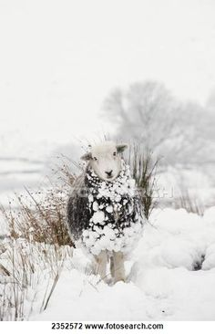 Stock Photo of Livestock - Herdwick sheep in snow in the high mountains 2352572 - Search Stock Photography, Print Pictures, Images, and Photo Clip Art - 2352572.jpg