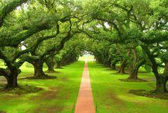 Oaks lining historic streets of small Southern towns like Charleston, South Carolina and Savannah, Georgia
