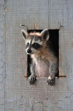 Items similar to BUY ONE, Get One Free -- Taking a Look Around Coon Photograph raccoon, wildlife art, nature lover gift-giving idea, cabin decor on Etsy Cute Creatures, Beautiful Creatures, Animals Beautiful, Cute Baby Animals, Animals And Pets, Funny Animals, Baby Raccoon, Tier Fotos, Cute Animal Pictures
