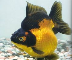 Gold & black Ryukin with short tail Comet Goldfish, Fantail Goldfish, Goldfish Tank, Lionhead Goldfish, Lovely Creatures, Sea Creatures, Colorful Fish, Tropical Fish, Goldfish Types