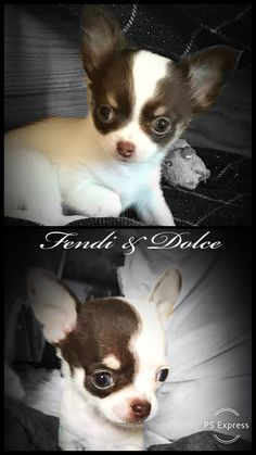 Cute Small Animals, Large Animals, Baby Animals, Teacup Chihuahua, Chihuahua Puppies, Adorable Puppies, Cute Dogs, Chiwawa, Puppies And Kitties