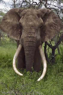 A tusker bull elephant with massive tusks browses in the bush, Ol Donyo Wuas, Chyulu Hills, Kenya. Bull Elephant, Elephant Poster, Asian Elephant, Elephant Love, Elephants Never Forget, Save The Elephants, Majestic Animals, Animals Beautiful, Beautiful Creatures