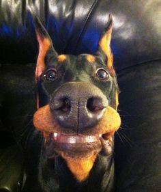 Doberman smile of the day #Doberman #pet