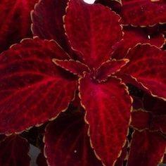 Fairway Red Velvet coleus - Annual Flower Seeds.