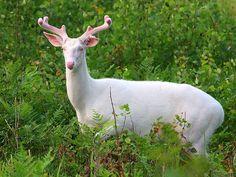 Albino Whitetail Deer -by Michael Crowley Boulder Junction, Albino Deer, Deer Photos, Michaela, Deer Family, Call Of The Wild, Whitetail Bucks, Oh Deer, Buck Deer