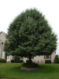 Bradford Pear tree. I love this tree. It's so pretty and white in the spring, so red in the fall. I wish we had one!