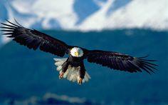 bald eagle 800x500