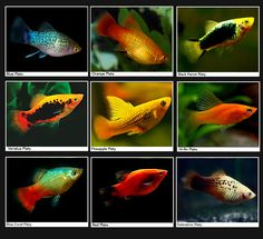 Platies - The Platy fish is a cute goldish companion for a more colorful starter aquarium, eating all sorts of fish foods and staying pretty healthy through it's 2 to 3 years of life. Though many platies are gold or reddish in color, there are actually many varieties and colors of platies, and all are very much the same in how they behave and what they eat. If you have a male platy, it's best to get two or more female platy companions for it to avoid hostilities between the fish.