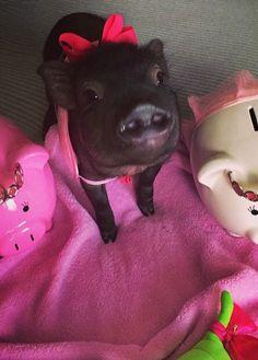 Pink Micro Teacup Pigs