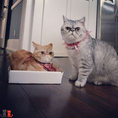Mr Eggs is gray n white. Sir Pumpkin is the airplane ears.  #exoticshorthair #cat #cute #flatface #kitten #meow #pet #mreggs #catlover #exoticsofinstagram #smushface #cutepetclub #weeklyfluff #sirpumpkin