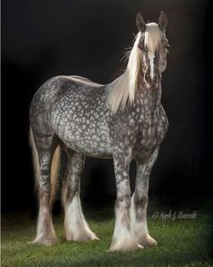 Deerinwater Silver Samurai, a striking silver dapple Gypsy Vanner horse. (Mark J Barrett) Beautiful Horse Pictures, Most Beautiful Horses, Pretty Horses, Animals Beautiful, Rare Horses, Big Horses, Horse Love, Gypsy Horse, Appaloosa Horses