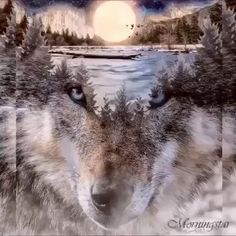 Native American Wolf, Native American Pictures, Native American Artists, Wolf Images, Wolf Pictures, Nature Pictures, Tiger Cubs, Tiger Tiger, Bengal Tiger