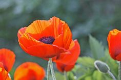 orange poppies | Orange oriental poppy (Papaver Oriental) in my gardens