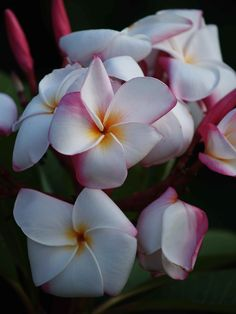 "The plumeria ""JJ My Valentine"" Thai. One of the most beautiful ""whites"" with a fantastic scent.  SeaSidePlumeria@cfl.rr.com"