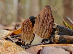 The Secret to Morel Mushroom Hunting in Pure Michigan | Pure Michigan Connect.  I remember trying to find these babies.  And then I found one, and I could see them all.  My mom use to fry them up in butter,ummm.