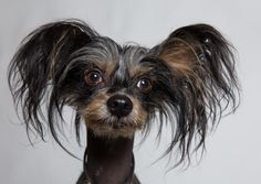 11 Quirky Facts About the Chinese Crested | Mental Floss