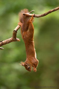 Red squirrel; Sciurus vulgarism by Walter Soestbergen**