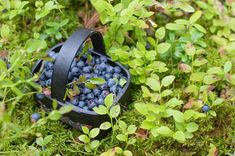 Wild blueberries are a tasty superfood that for centuries has been a part of the native North American's diet. These small berries are highly nutritious. Blueberry Juice, Blueberry Bushes, Gram Of Sugar, The Settlers, Wild Blueberries, Natural Health Remedies, Afternoon Snacks, Alternative Medicine, Superfood