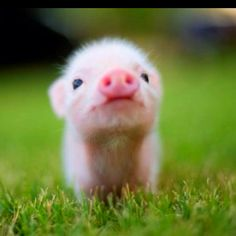 I seem to have an obsession with piglets!  They are SO cute!  (but then they grow up...)