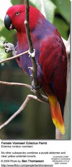 Eclectus Parrots - Sub-species Identification