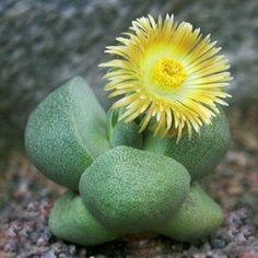 20pcs Pleiospilos Nelii Seeds Garden Succulent Plants Potting