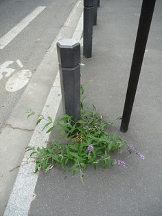 Un petit buddléia, fleur de trottoir http://www.pariscotejardin.fr/2013/08/un-petit-buddleia-fleur-de-trottoir/