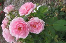 """"""" Prairie Joy """" - Parkland Series Collection - Shrub rose - None to mild fragrance - Henry H. Shrub Roses, Rose, Flowers, Garden, Rose Garden, Shrubs, Zone 3, Plants"""