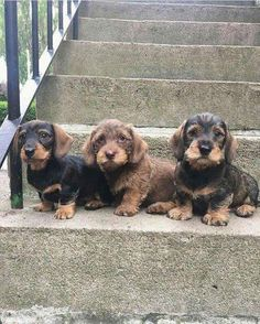 These wirehaired puppies are adorable!You can find Dachshund and more on our website.These wirehaired puppies are adorable! Dachshund Funny, Weenie Dogs, Dachshund Puppies, Dachshund Love, Cute Puppies, Pet Dogs, Dogs And Puppies, Dog Cat, Daschund