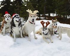 There'll always be a grumpy one in the family photo @husky_trouble
