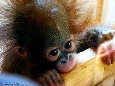 Orangutans are awesome!