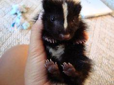 228 Best Baby Skunk Images Baby Skunks Animal Babies Cubs