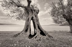 An excellent photograph capturing the complexity of the olive tree! - Thermo, Lake Trichonida, Western Greece.