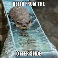 Hello from the otter slide. #OceansideVet #funnyanimals #otters