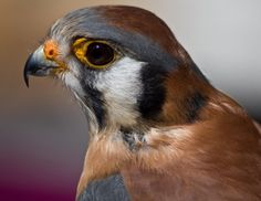 American Birds of Prey Pictures | American Kestrel. Bird of Prey Photography by Liz Bergman