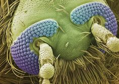 Scanning Electron Microscopy mosquito head - by Brandon Broll