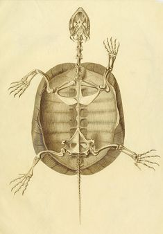Anatome Testudinis Europaeae by the German physician and naturalist Ludwig Heinrich Bojanus (1776–1827)