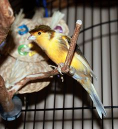 My new pet bird (Gloucester Canary) PECK....he is the best singer and wakes me up every morning with his beautiful song...how can I not be cheerful when I hear it.