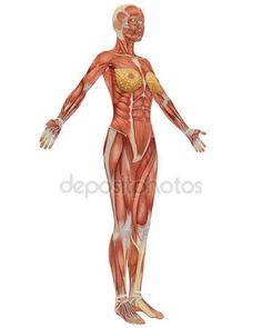 女性的肌肉解剖侧视图 — 图库照片©ArtAndSoulPhoto#3845799