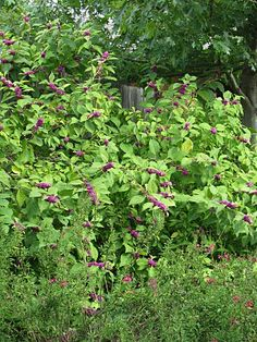 On the edge of the backyard prairie, a large American beautyberry, Callicarpa americana, is covered in clusters of bright purple berries.