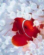 Spinecheek Clown Fish